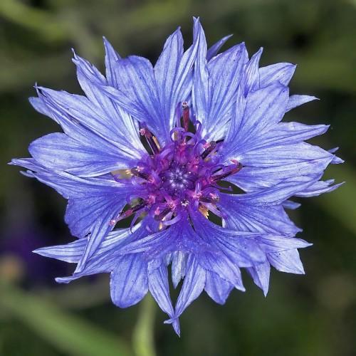Il significato dei fiori : FIORDALISO