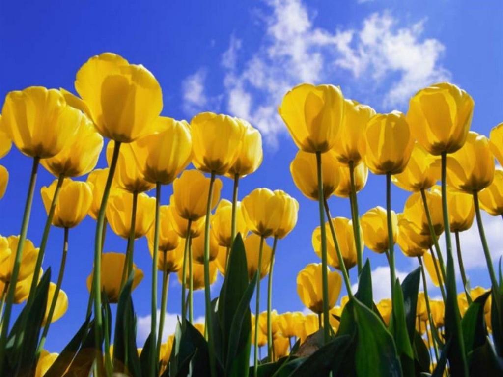 Fiori Gialli Significato.Il Significato Dei Fiori Tulipano Giallo Le Mie Meraviglie